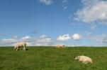 Texelse schapen op de dijk