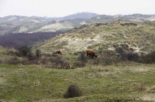 hooglanders en paarden