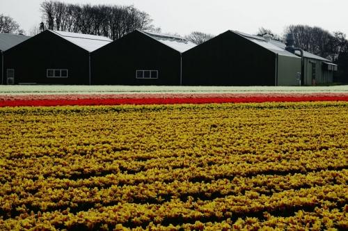 tulpen Egmond aan de Hoef