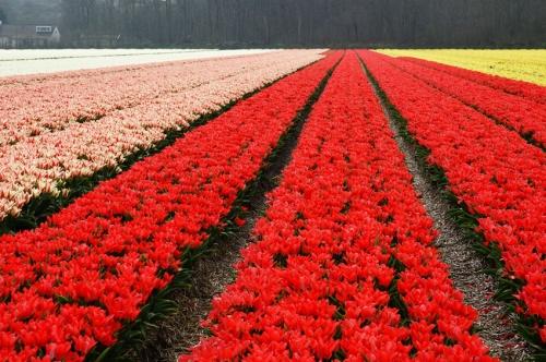 vier kleuren tulpen