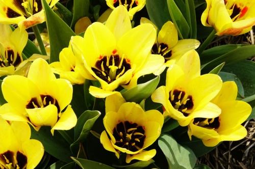 het hart van de gele tulp