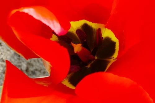 het hart van de rode tulp