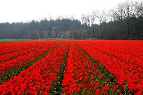 rode tulpenveldenEgmond aan de Hoef