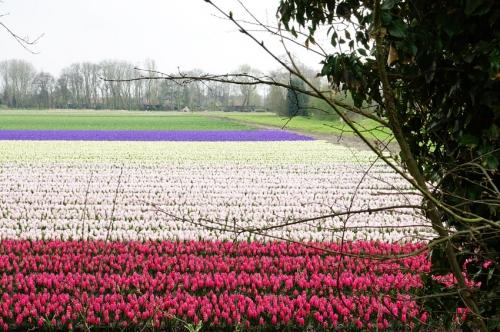 hyacinthen Egmond aan de Hoef