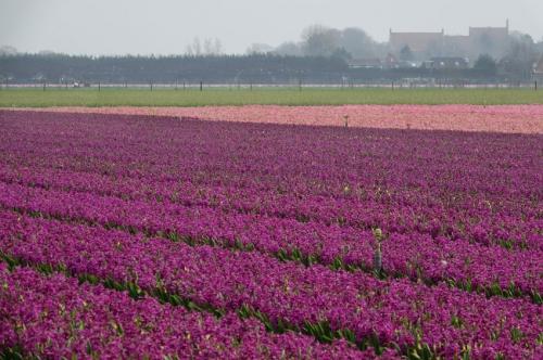 hyacinthen zeeweg Heiloo met de abdij