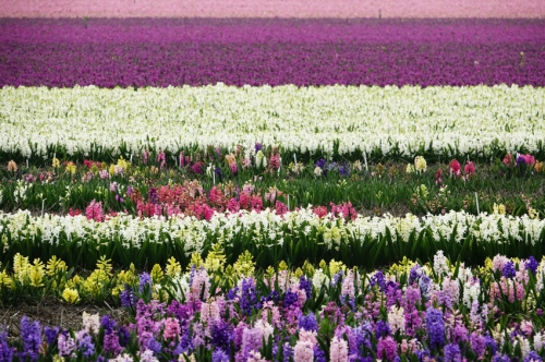 hyacinthen zeeweg Heiloo